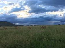 antelope crossing