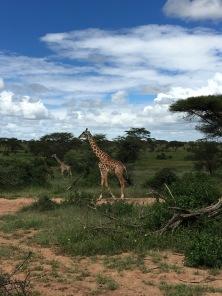 giraffee1