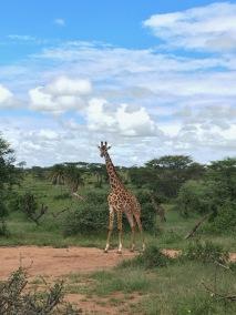 giraffee2